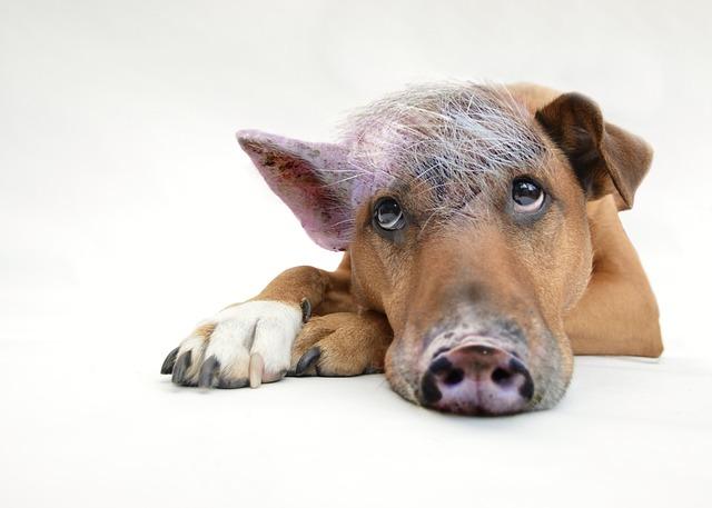 ぼーっとしている豚