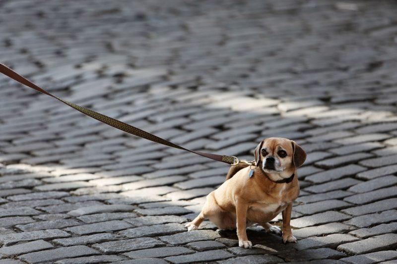 繋がれる犬